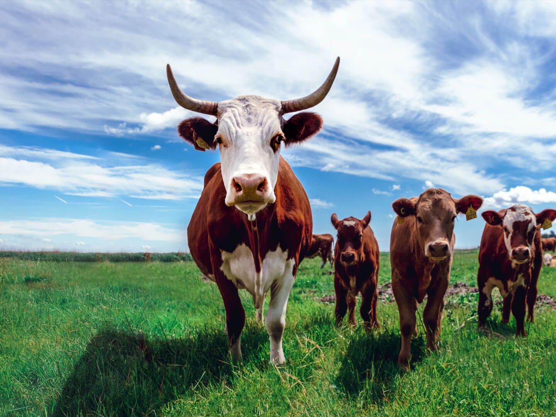 cattle-farming
